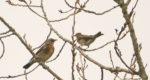 Kramsvogels en koperwieken in Buitenhuizen