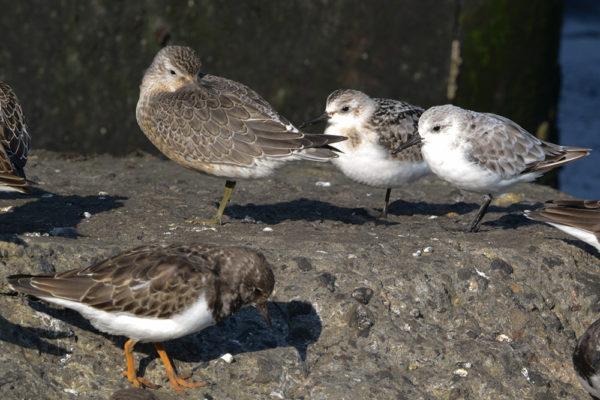 Drieteenstrandlopertjes pauzeren tijdens hoogwater op de pier