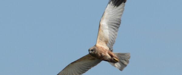 Grote vogels in de polder